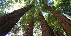 Image result for redwood trees