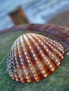 Shell  --  a hint of purple - orange-and cream  ......... j