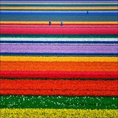 this is, in fact, the northern Netherlands in the middle of tulip season. The Dutch  landscape in May is a kaleidoscope of color as  the tulips burst into life. The bulbs  are planted in late October and early November.  More than three billion tulips are grown each year and two-thirds of the vibrant blooms are exported, mostly to the U.S. and Germany.