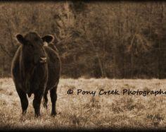 Black Baldy Cow 16x24 Fine Art Photograph by LittleDixieFiberCo