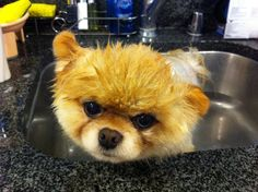 <33 - boo-the-cutest-dog-in-the-world Photo
