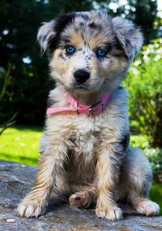 Top 10 Healthiest Dog Breeds Australian Shepherd in top 10 :) Animals And Pets, Baby Animals, Funny Animals, Cute Animals, Cute Puppies, Cute Dogs, Dogs And Puppies, Doggies, Small Puppies
