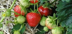 Tips on growing strawberries. Discover the different types of strawberries and master the art of growing delicious, healthy & tasty berries.