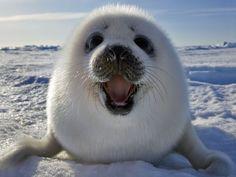 A vida das focas Geralmente as pessoas  acham que focas são sempre desengonçadas, e por que nunca viram uma nadando