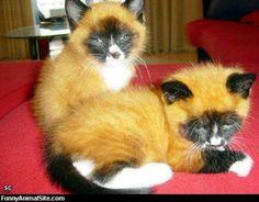 Fox faced cats. Adorable!!