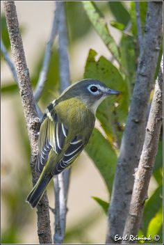 Blue-headed Vireo, found in Canada, Eastern United States, Mexico to Central America