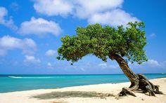 Dividivi boom Aruba