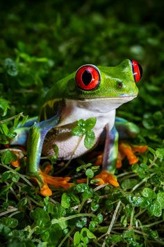 Red Eyed Tree Frog Photograph by MoriahQuinnPhoto on Etsy