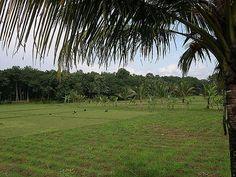 Kuttanad, uma região verdejante do estado de Kerala, Índia. Na foto, campos cultivados de arroz. Entre as plantas cultivadas em Kuttanad incluem-se o arroz, bananas, casava e inhame.  Fotografia: Joe Zachs no Flickr.