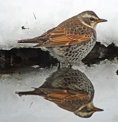 Dusky Thrush, Japan
