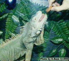Feeding Iguanas