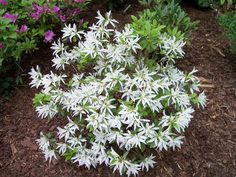white spider a beautiful white petaloid azalea developed by the..... on www.beautifulgardens.org