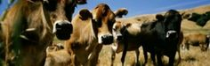 Close Up Of Cows, California, USA Print by Panoramic Images