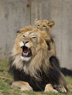 lion cub on top of lion dads head - Wildlife Planet Funny Image Created By Dominick Mezzapesa Animals And Pets, Baby Animals, Cute Animals, Wild Animals, Beautiful Cats, Animals Beautiful, Big Cats, Cats And Kittens, Vida Animal