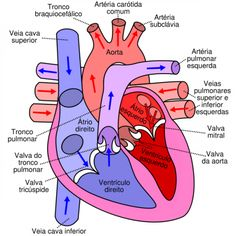 Anatomy of the heart and great vessels medical illustration human human body heart rate ccuart Image collections