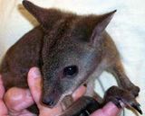 Parma Wallaby Cincinnati Zoo |Pinned from PinTo for iPad|
