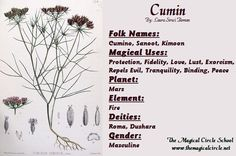 Cumin Magical Properties - The Magical Circle School - www.themagicalcircle.net