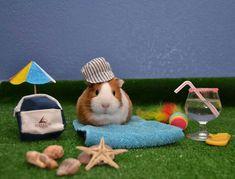 El verano ya llegó / Summer time / Guinea pig / Cobaya