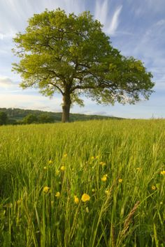 Solitary Oak Tree and Wildflowers in Field Photographic Print by Design Pics Inc - AllPosters.co.uk