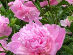 You could almost mistake 'Sarah Bernhardt', an early-flowering peony, for an old-fashioned rose. This fragrant, pink blooms are standouts in spring gardens.