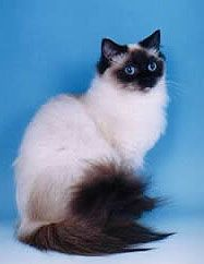 Ragdoll Cat, Leighia's Sasha she adopted at the shelter is part Ragdoll and part Calico