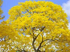 Ipê amarelo, símbolo do Brasil