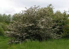 While its blossoms are used in May Day celebrations, it was considered unlucky to bring hawthorn into the house, because of the folklore that doing so would bring illness and death to that house. Much nicer then to reflect on its more positive symbolism, chiefly that of regarding the hawthorn as an emblem of hope. In fact its genus name Crataegus, comes from the Greek kratos, which means strength.   Its branches are said to have been carried by the ancient Greeks in wedding processions, and…