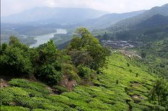 Munnar Tea-plantations, Kerala, India.  Kerala tourism in India's far southwest is mostly about relaxing on palm-fringed beaches in this little but lush state , surrendering to Ayurvedic massage [a Kerala-speciality], hiking [or paragliding] over lush Munnar tea plantations or gently cruising the tropical backwaters, rather than trudging around lingam-heavy temples or raucous cities.