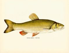 VINTAGE FISH Art PRINT The Chub Vintage 1972 Print Beautiful Home Decor Antique Gallery Wall Print (fwf 24) by UpcycleFarmer on Etsy https://www.etsy.com/listing/220807601/vintage-fish-art-print-the-chub-vintage