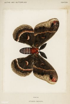 Cecropia Moth (Attacus Cecropia) from Moths and Butterflies of the United States (1900) by Sherman F. Denton (1856-1937). Digitally enhanced from our own publication.