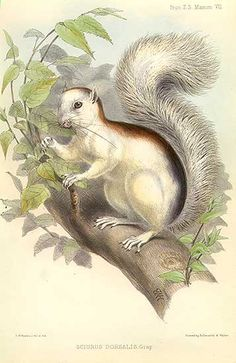 Black-backed squirrel Sciurus dorsalis, lithograph, Zoological Society of London, mid-19th century.