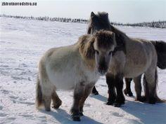 The beautiful Yakut horses.