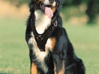 1000+ images about Bernese mountain dog on Pinterest | Bernese Mountain Dogs, Mountain Dogs and Swiss Mountain Dogs