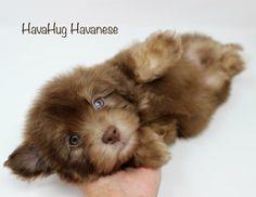 So tender & sweet <3 Chocolate Havanese Puppies <3   www.havahughavanese.com