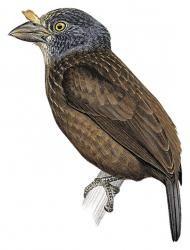 Gray-headed Barbet (Gymnobucco cinereiceps) (Formerly included in Gymnobucco bonapartei)
