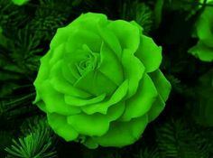 Lime Green Rose Bush 5 seeds Rare US seller Unusual