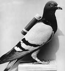 carrier pigeons @Jeanne Bright Marsden @Michelle Flynn Kannady @Lindsey Grande Taylor