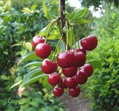 чтобы вишня не капризничала 1. солнечное местопривитые деревья вишни, как и вообще все привитые растения,