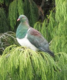 New Zealand Wood Pigeon ~ Kereru