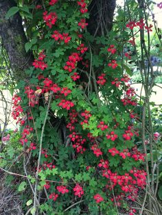 Scottish flame thrower - Tropaeolum speciosum