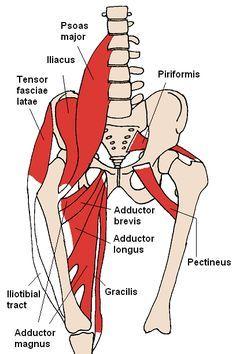 Musculus psoas major – Wikipedia