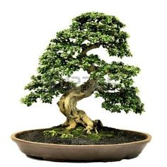 very old bonsai tree: Bonsai in pot,Potted bonsai tree,Small tree in pot isolated on white background  Stock Photo