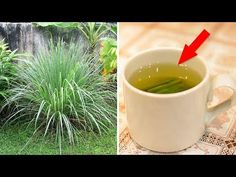 Why Lemongrass Tea Should Be Your New Favorite Drink (Lemon Grass Benefits) Lemon Grass Tea Benefits, Lemongrass Tea, Channel, Home Health Remedies, How To Make Drinks, Living Off The Land, Medical Problems, Growing Herbs, Natural Cures
