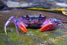 One of the newly discovered crab species, Insulamon palawanense, which is bright purple in color. Discovered in the Philippines  CREDIT: © Senckenberg