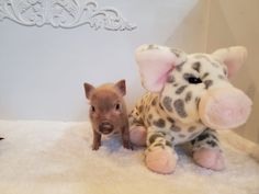 Mini & Micro Juliana Baby Pigs For Sale - Mini Pocket Pigs : Mini Pocket Pigs Baby Pigs For Sale, Cute Baby Pigs, Pets For Sale, Cute Babies, Micro Piglets, Pocket Pig, Indoor Pets, Pet Pigs, Dogs And Puppies