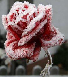 ✯ Frosty Rose