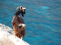 The Kri-kri (Capra aegagrus creticus), sometimes called the Cretan goat, Agrimi, or Cretan Ibex, was considered a subspecies of Wild Goat, but has been recently found to be a feral variety of the domestic goat. The Kri-kri is a large ungulate native to the Eastern Mediterranean, now found only on the island of Crete, Greece and three small islands just offshore (Dia, Thodorou and Agii Pantes).