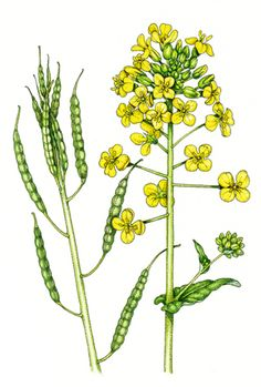 Lizzie harper botanical illustration of oil seed rape
