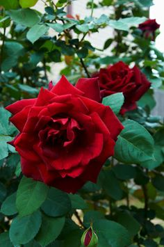 Don Juan Climbing Rose.  How to Grow Don Juan Roses/ Steps: 1. Add organic amendments or compost to the soil where you will be planting your Don Juan roses. Aim for a ratio of 1-to-2 or 1-to-3. 2. Dig a hole 18 inches in diameter by 12 inches deep for bare-root roses. Dig the hole wide enough for the root ball and about 1 inch deeper than the root ball for container-grown roses. Read more: http://homeguides.sfgate.com/grow-don-juan-roses-21062.html