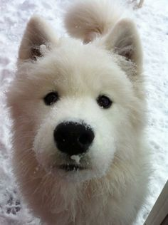 Samoyed                                                                                                                                                                                 More